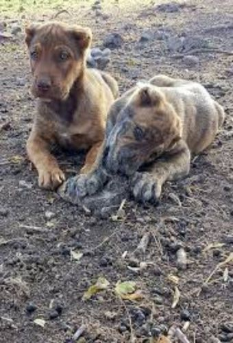 dogo sardesco puppies