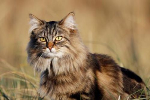 domestic longhaired cat cat