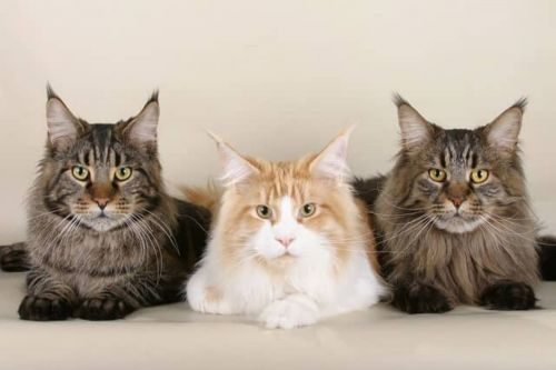 domestic longhaired cat cats
