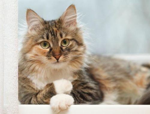 domestic longhaired cat kitten