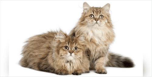 domestic longhaired cat kittens