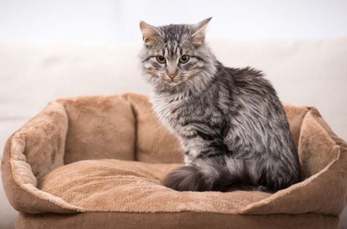 domestic mediumhair