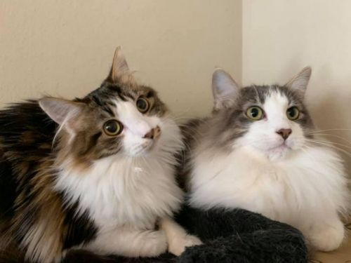 domestic mediumhair cats