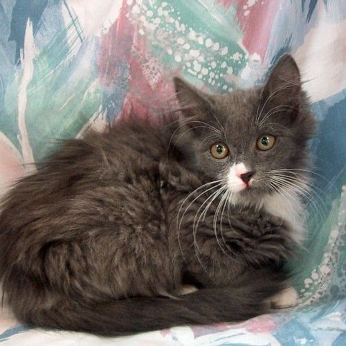 domestic mediumhair kitten