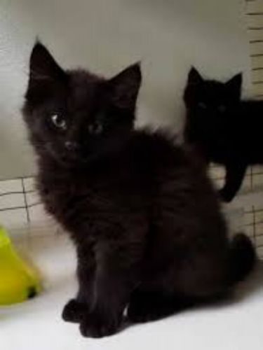 domestic mediumhair kittens