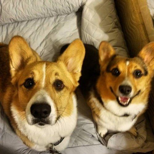 dorgi dogs