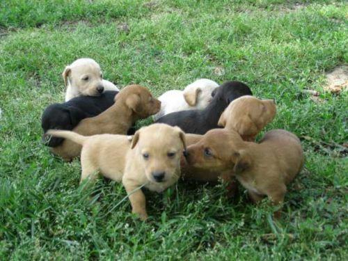 dorgi puppies