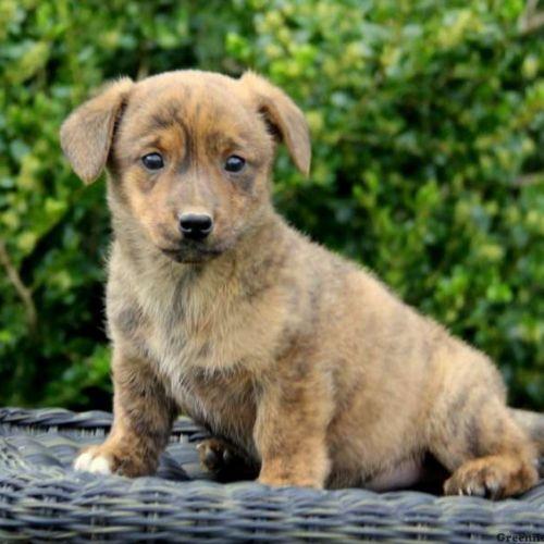 dorgi puppy