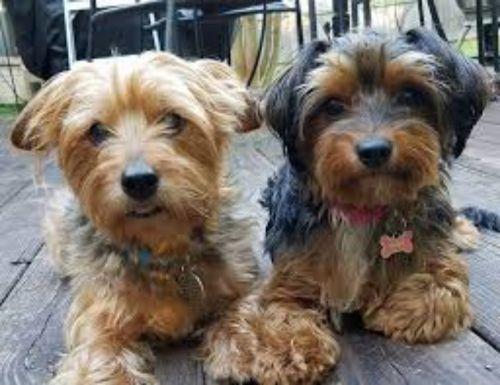 dorkie dogs