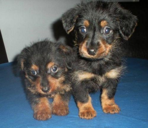 dorkie puppies