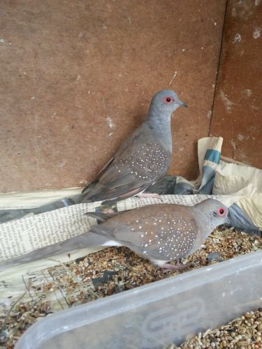 Dove Birds for sale in Pittsburgh, PA, USA. price 500USD