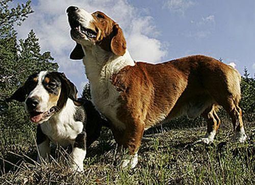 drever dogs