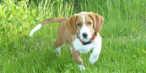 drever puppy