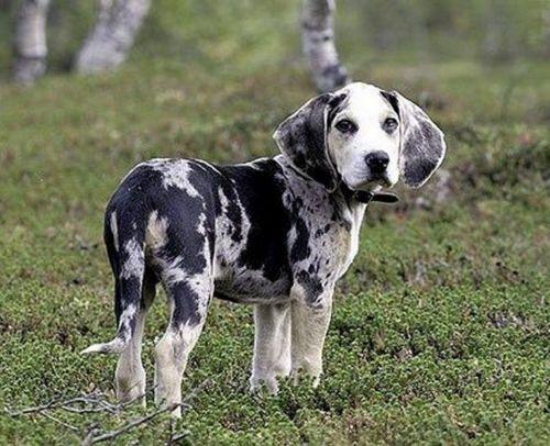 dunker puppy