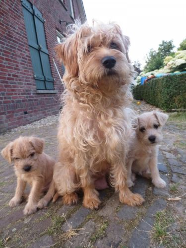 dutch smoushond puppies