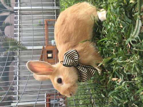Dwarf Hotot Rabbits for sale in Kendall, FL, USA. price 50USD