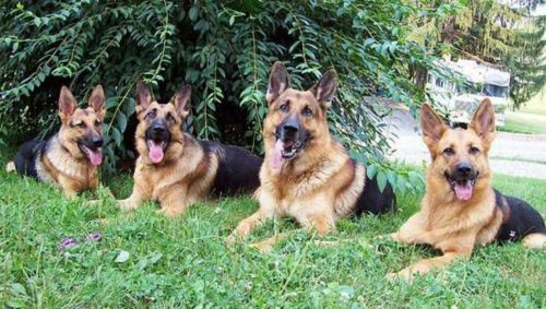 east german shepherd dogs