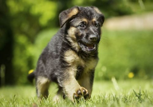 east german shepherd puppy