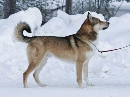 east siberian laika dog