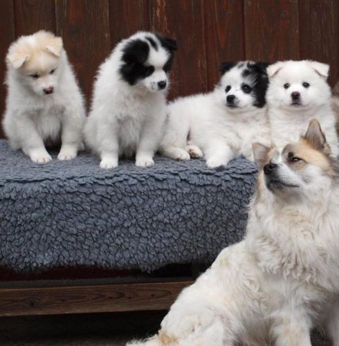 elo puppies