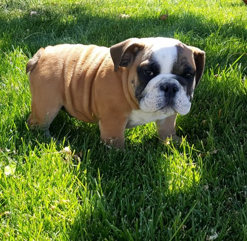 English Bulldog Puppies For Sale Las Vegas Nv 197188 Petzlover