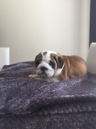 atlanta bulldog english bulldog puppies for sale atlanta ga 200102 2447