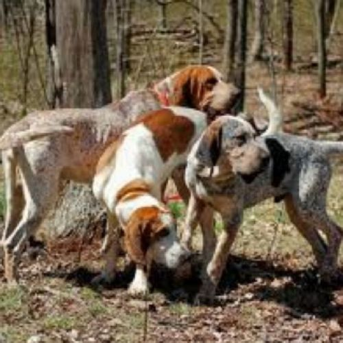 english coonhound dogs