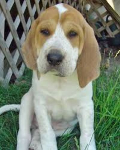 english coonhound puppy