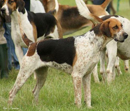 english foxhound dogs