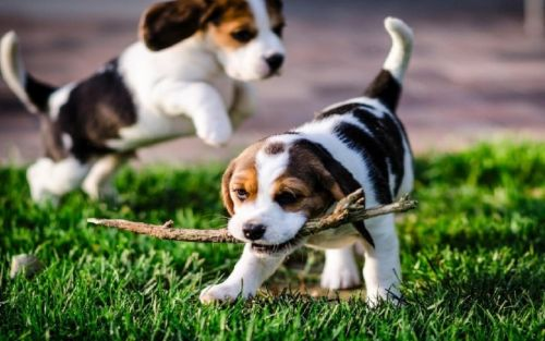 english foxhound puppies