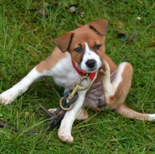 english foxhound puppy