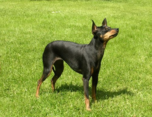english toy terrier black and tan dog