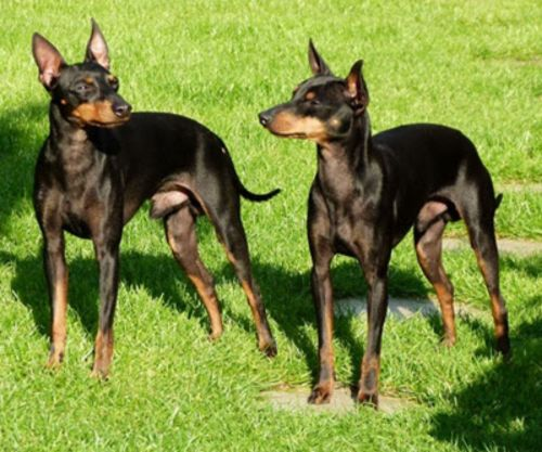 english toy terrier black and tan dogs