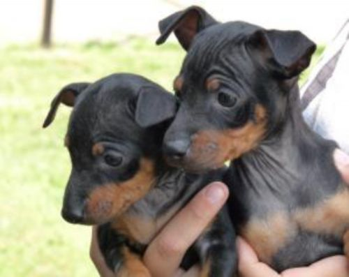 english toy terrier black and tan puppies
