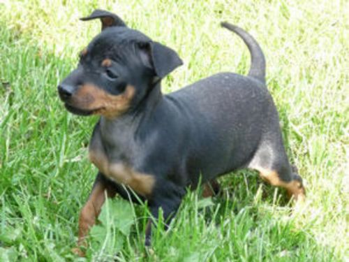 english toy terrier black and tan puppy
