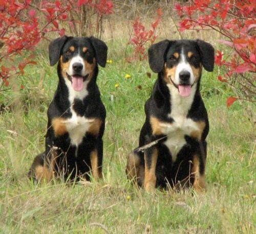 entlebucher mountain dog dogs