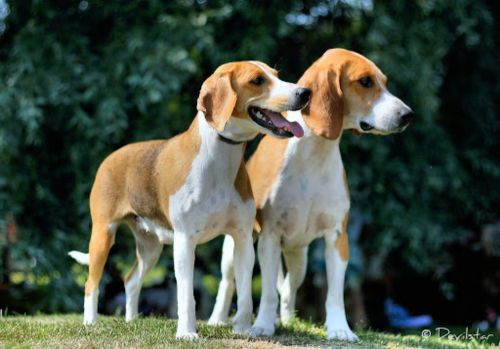 estonian hound dogs