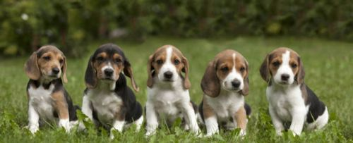 estonian hound puppies