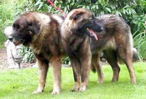 estrela mountain dog dogs