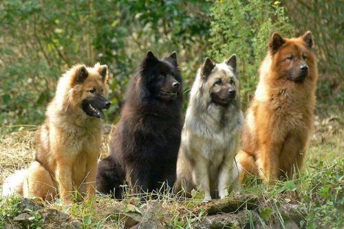 eurasier dogs