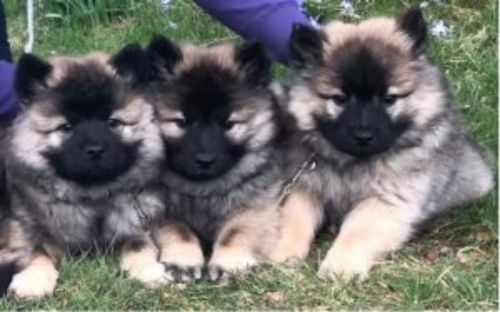 eurasier puppies