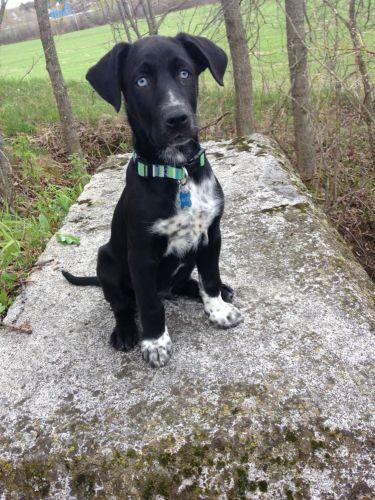 eurohound puppy
