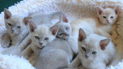 european burmese kittens