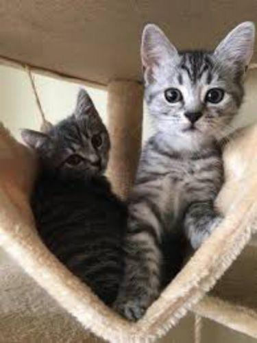 european shorthair kittens