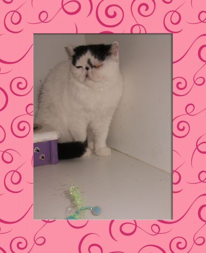 Exotic Shorthair Cats for sale in Southgate, MI, USA. price 250USD