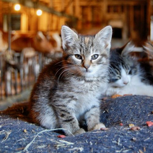 farm cat kitten