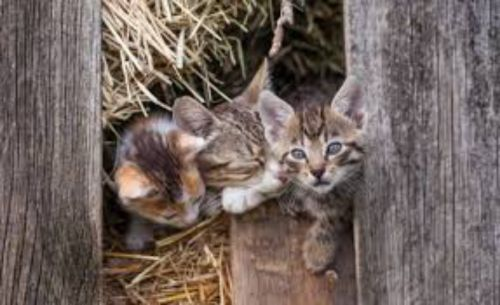 farm cat kittens