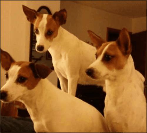 feist dogs