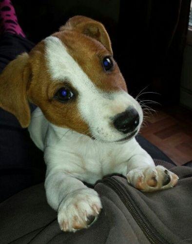 feist puppy