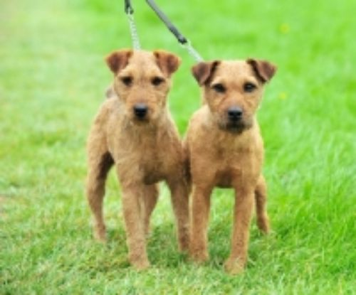 fell terrier dogs